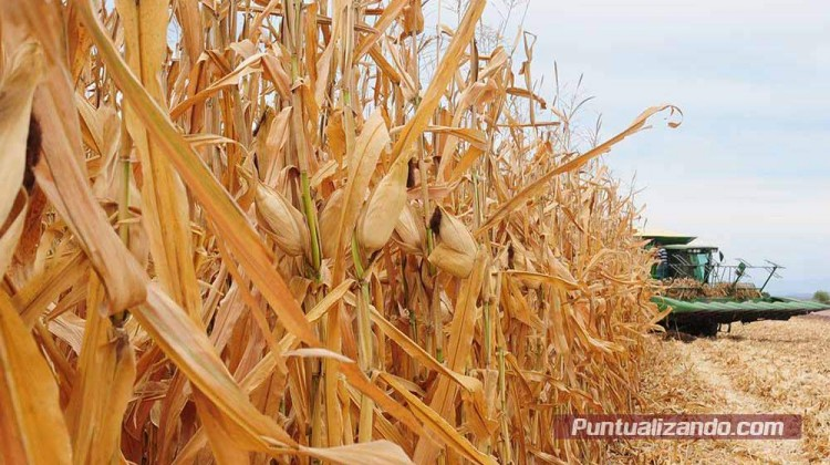 soca, maíz