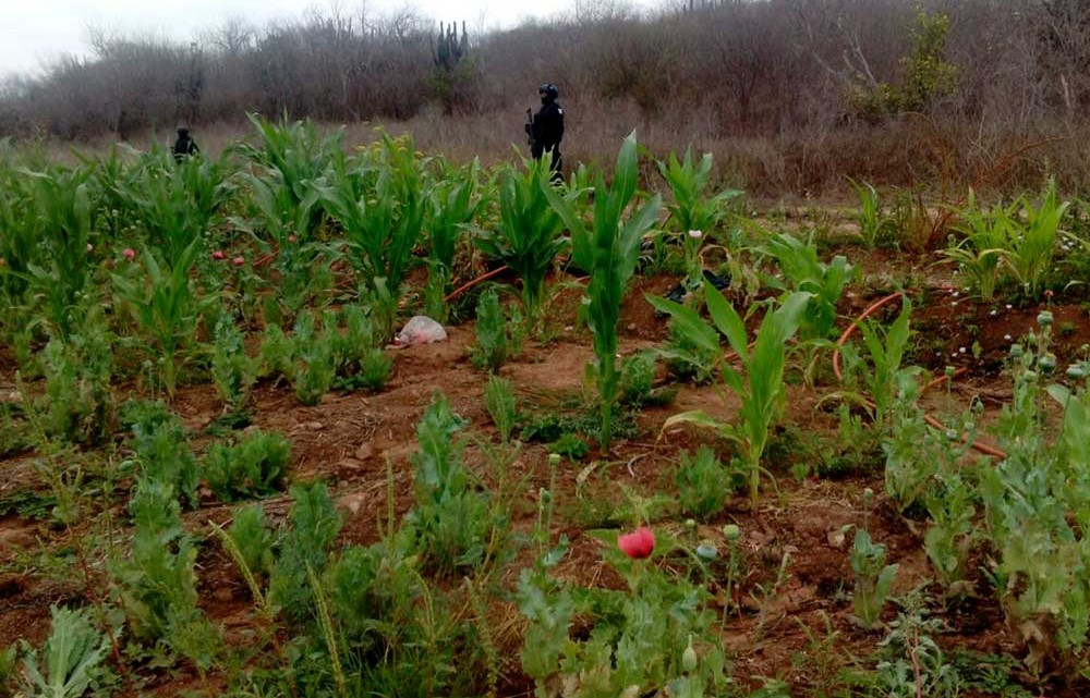 Plantíos de Amapola